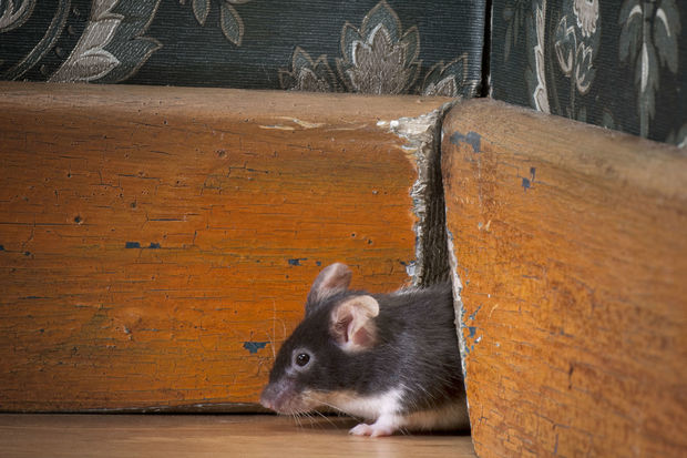 Prevent And Fight Rodent Infestations, How To Control Mice In Basement