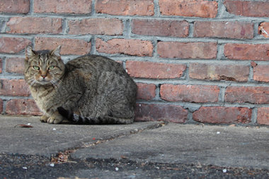 """The nonprofit Neighborhood Cats started """"Staten Island Clean Sweep"""" that will spay or neuter 1,000 stray cats in the borough."""