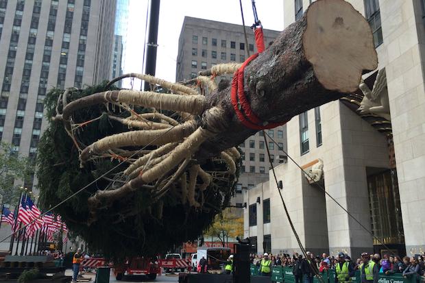 VIDEO: Famed Rockefeller Center Christmas Tree Is Hoisted