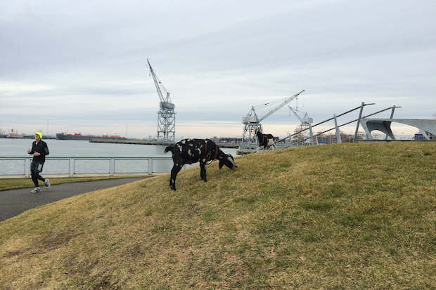 Goats were spotted grazing in the grass outside Ikea's Brooklyn store in Red Hook.