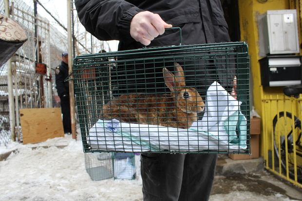 Police returned to rescue at least 75 more bunnies from a Third Avenue backyard on Jan. 29, 2015.