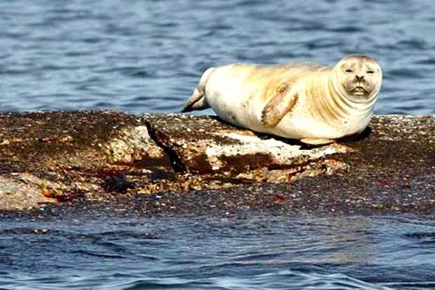 Seals have arrived in New York City, migrating for warmer climates