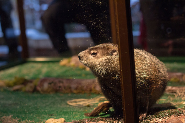 Staten Island Chuck was protected from the mayor this year as he didn't see his shadow and predicted an early spring.