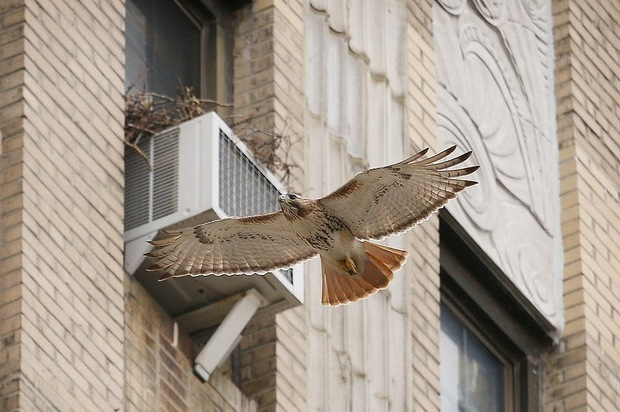 The two red-tailed hawks that lived on the Christodora House just outside of Tompkins Square Park have relocated and built a nest on top of an air conditioner unit at the Ageloff Towers on Avenue A between East Third and East Fourth Streets.