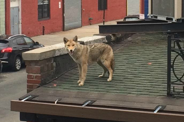 A coyote was on the roof of the LIC Bar for more than an hour on Monday, March 30, 2015, witnesses said.