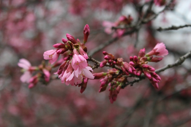 The famous cherry trees at the Brooklyn Botanic Garden have not been badly damaged by this spring's wild weather, experts at the garden said.