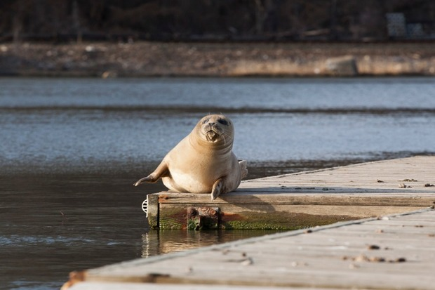 A harbor seal has been spotted near Inwood Hill Park several times since Monday.