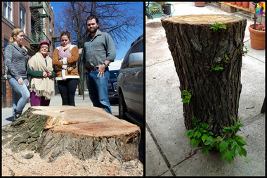Left: Neighbors on 34th Street in Astoria stand next to the trunk of a massive tree that had been cut down by the city on March 23, 2015. Right: a piece of a branch salvaged by neighbor Anna Jutis, which began to sprout leaves after being cut down.
