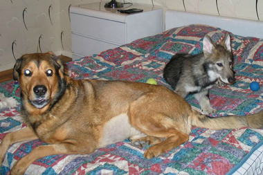 Angel the wolfdog (right) in an undated photo. Brooklyn resident Robert Traktman kept Angel as a pet for 11 years before he had to give her up.
