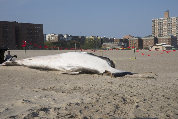 A dead Minke whale washed up on the shore of Coney Island Monday afternoon.