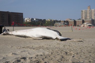 Whale Beached On Coney Island