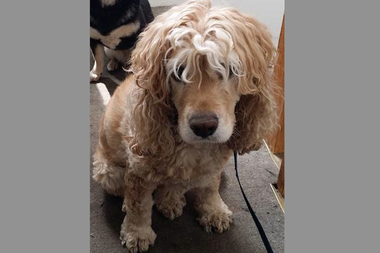 Ginger the cocker spaniel was found dead in Crocheron Park Monday, according to the Parks Department.