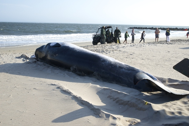 The female adult Minke whale washed up on Coney Island on June 8.