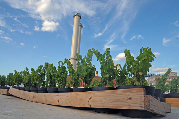 Rooftop Reds has started growing grapes for their urban vineyard on top of the Kings County Distillery in the Brooklyn Navy Yard.