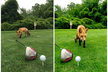 The wobbly-legged fox sniffed around a player's golf club.