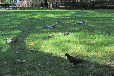 100 pigeons are missing from Washington Square Park, according to the NYPD.