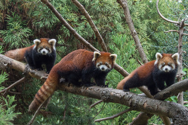 Two red panda cubs, left and right, pose on a branch with their mom, center, at the Prospect Park Zoo. The pair was born this summer at the Brooklyn zoo.