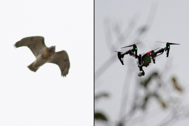 The red-tailed hawk at left was one of two hawks that moved to attack a drone, right, flown in Prospect Park on Nov. 18, according to a local birdwatcher. The bird was in a