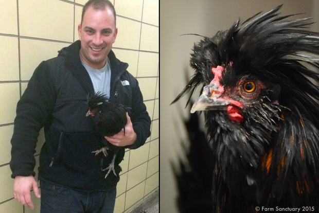 Sgt. Anthony Egan, left, holds Mo Justice the rooster, who was rescued from the middle of a Flatbush intersection earlier this month. The rooster, right, is now living at Farm Sanctuary, an animal rescue farm in upstate New York.