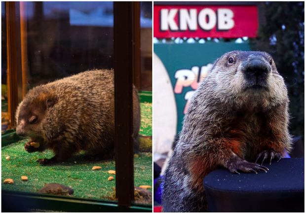 Staten Island Chuck is a far better weather forecaster than Punxsutawney Phil, DNAinfo's analysis shows.
