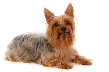 The Silky Terrier, similar to the one pictured above, suffered a dislocated hip and a knee injury that required surgery.