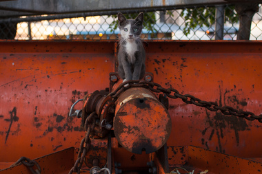 Thomas, a feral kitten, atop a snow plow in Sunset Park.