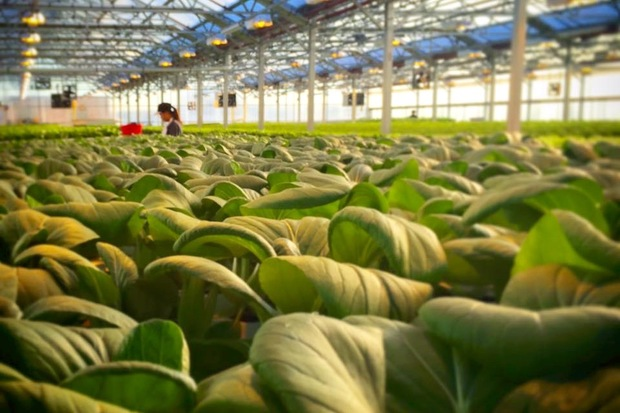 The new 60,000-square-foot Gotham Greens facility will produce vegetables and herbs.