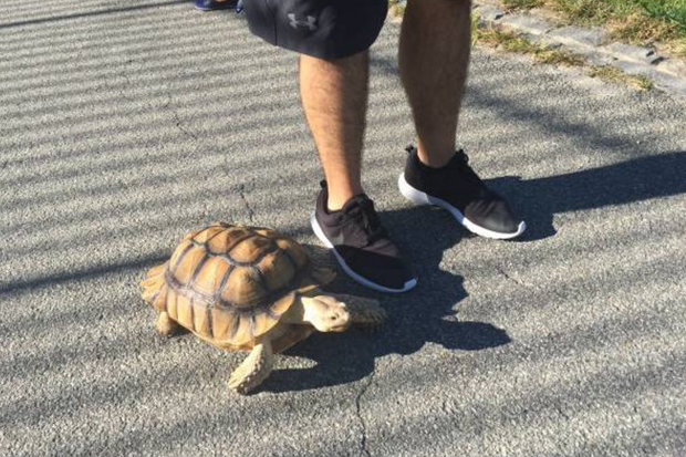 A Harlem woman is looking to fill a vacancy as a tortoise walker, to take her 16-year-old tortoise, Henry, to the park.