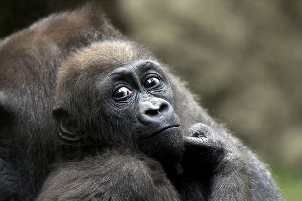 Video Baby Gorillas At The Bronx Zoo Are Ready For Summer Belmont