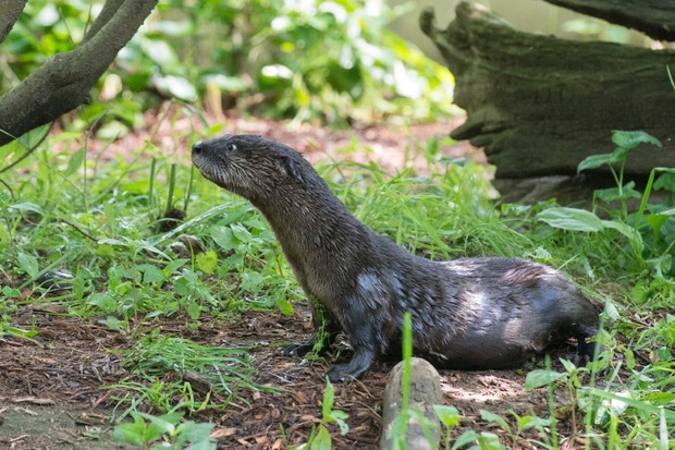 The newest addition to the Prospect Park Zoo is this male North American river otter pup.