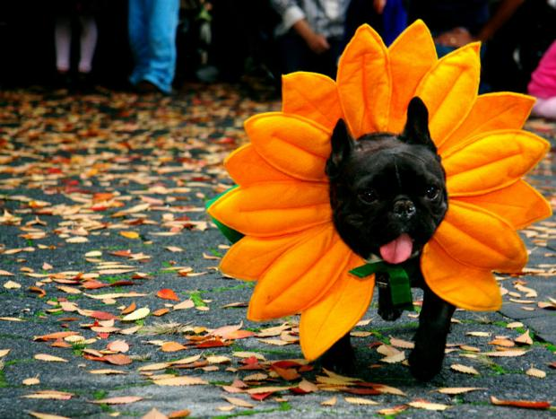 October 27, 2012 - Fort Greene Park celebrates Halloween with a dog costume contest.