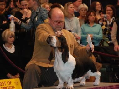 A basset hound competes for best of breed in the Westminster Dog Show, Monday.
