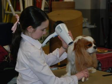 This Cavalier King Charles spaniel gets blown out by its 13-year-old junior handler at the Westminster Dog Show on Feb. 15, 2010.