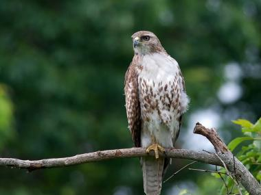 A red-tailed hawk perches on a branch.
