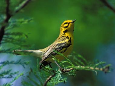 A prairie warbler, one of the birds that could show up on Central Park's Spring Warbler Tour. Take your nature-loving mom to check out the birds.