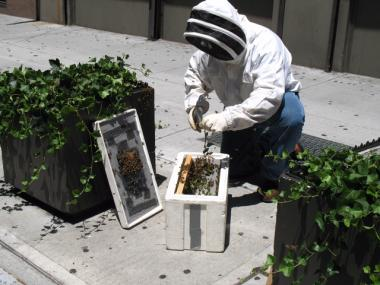 Anthony Planakis retrieves bees off a sidewalk planter in Midtown South on Tuesday, July 7,2011.