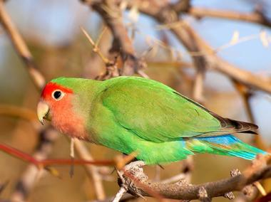 An exotic bird rescued Saturday near Columbia University appears to be peach-faced lovebird, shown here, which are native to Africa.