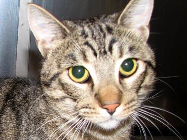 A tabby cat (like this one) named Copper, reportedly survived a 12-story fall from an Upper West Side building.