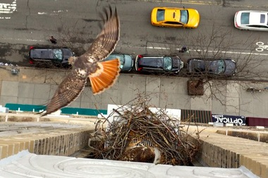 East Village Red Tailed Hawks Move To Avenue A To Build New Nest East Village New York Dnainfo