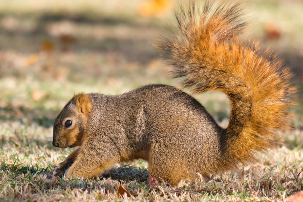 Squirrels are at their most active in the fall, and will produce unintended consequences come spring.
