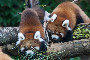 It's hard to top the new red panda cubs Waveland and Sheffield at Lincoln Park Zoo this weekend, but there are other things going on in Lincoln Park and Old Town.