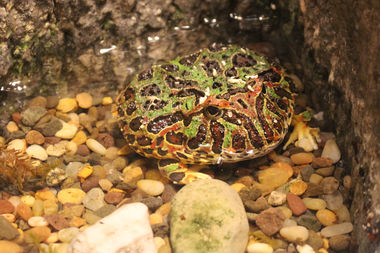 The ornate horned frog has a mouth as wide as its body, and looks like a decorative paperweight. It's part of an exhibit opening Saturday at the Notebaert Nature Museum.
