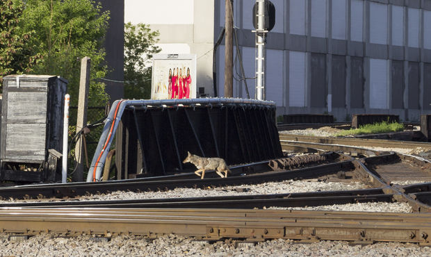 A coyote saunters along the St Charles Air Line at 16th Street Tower in Chicago's South Loop.