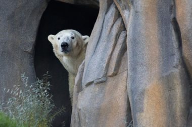 Siku comes out from hiding and makes his public debut Thursday at Lincoln Park Zoo.
