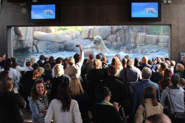 Siku pounces on a floatation ball in his diving pool before a full-house crowd to see his debut in the Lincoln Park Zoo's new Arctic Tundra exhibit.