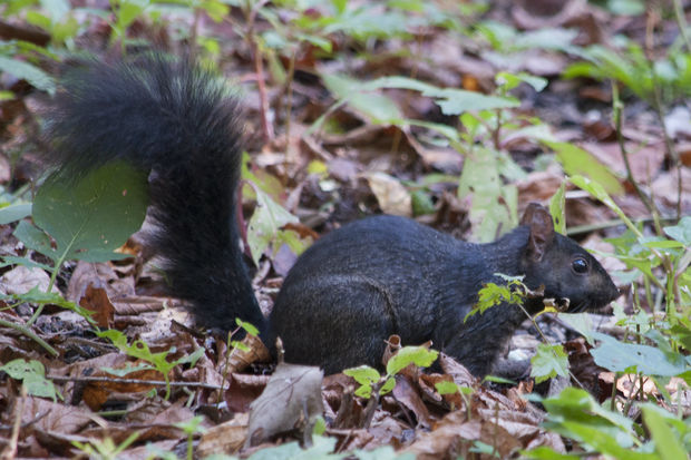 A black squirrel at Jarvis Bird Sanctuary in Chicago