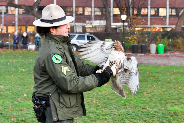 Urban Park Ranger Sgt. Rob Mastrianni releases the young hawk in Central Park on Dec. 2.