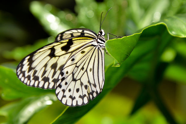 "As part of its annual ""Butterfly Conservatory,"" the American Museum of Natural History has brought hundreds of live tropical butterflies to an exhibit hall so you can walk among them."