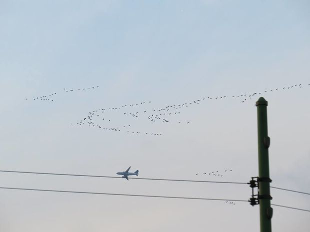 Sandhill cranes fly over Chicago on Wednesday near a plane.