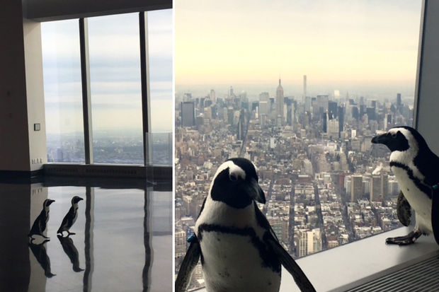 On the 100th floor, at One World Observatory, two penguins strut about for crowds of kids.